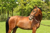 5 year gelding with shimmering summer color