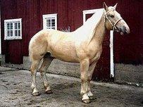 American Cream Draft Horse Pferd