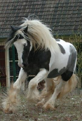Horse Breed Irish Tinker