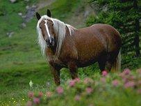 Noric Horse