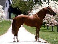 Belgisches Warmblut (BWP) Pferd