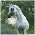 Egyptian Arabian, Egyptian Horse Horse