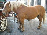 Comtois Pferd