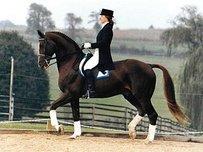 Danish Warmblood Horse