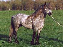 Dales Pony Pferd