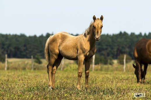 Quarter Horse zu verka...
