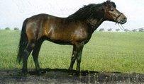 Hutsul Horse
