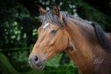 Great XL pony