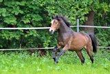 Riding pony gelding chic 4 year