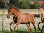 Young stallion in rare chestnut colour