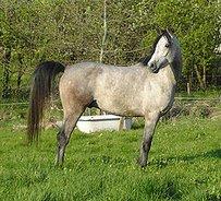 Shagya Arab Horse