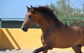 200 horses for sale   PRE Andalusian